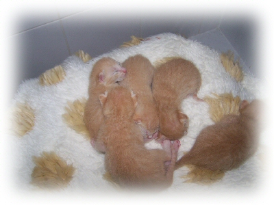 5 beautiful red variant kittens